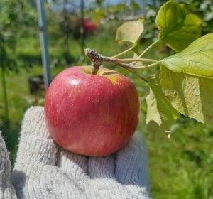 裏山でリンゴ狩り