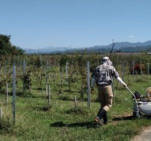 葡萄畑で秋の農作業