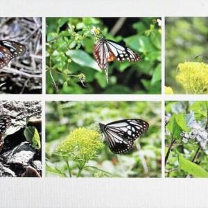 日本の蝶 Ⅳ アサギマダラ(当初予定していたイチモンジセセリ=オオチャバネセセリの項目の「下」=に換えて)