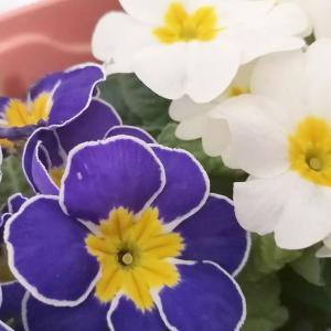 黄色だけいい香り?プリムラジュリアンの育て方や花言葉