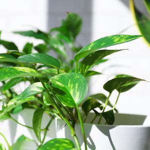 弱々しい観葉植物から新芽が出てる
