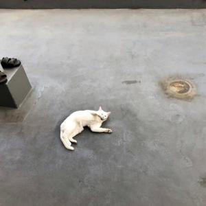 白猫が落ちている…