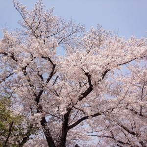 平成最後の桜もこれで終わり
