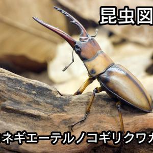 昆虫図鑑 カネギエーテルノコギリクワガタ 「小型だが立派な大アゴを持つ美しいノコギリクワガタ」
