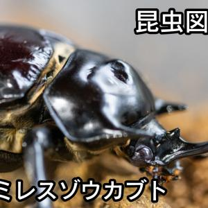 昆虫図鑑 ラミレスゾウカブト 「真っ黒で艶のあるゾウカブト」