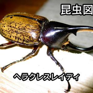 昆虫図鑑 ヘラクレスレイディ 「小さくてかわいいヘラクレス」
