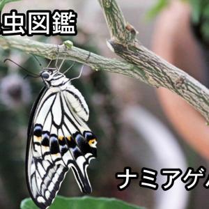 昆虫図鑑 ナミアゲハ 「日本のアゲハチョウといえばこの種類」