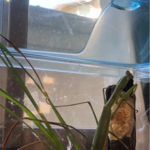 カマキリご出産 - Praying Mantis Gave Birth
