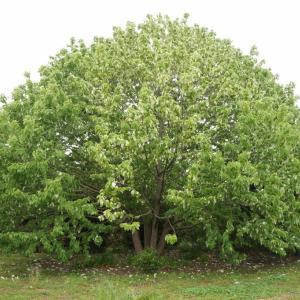ハンカチの木、金魚の木