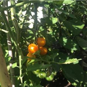 詳しい技術は何にも知らないけど河村通夫先生の肥料と土だけで、こんなにうまいトマトが作れるんだ。