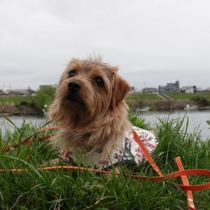今朝の散歩 新幹線こだまと多摩川河川敷でおやつをもらってご機嫌