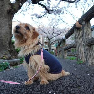 我が家のワンコと散歩 桜坂と六郷用水の跡のお花見、川で初泳ぎ