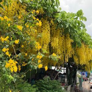 シーサケートの美味しいバミーと棚に枝垂れ咲くゴールデンシャワー