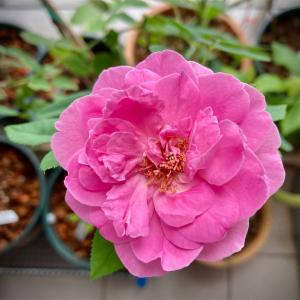 バラが咲いた♪ サミティベート病院のモデルナ予約には参戦せず。