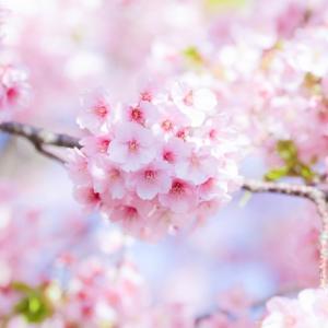 茅ケ崎の河津桜を見に行こう