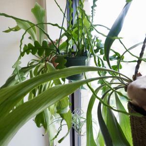 【植物をキレイに育てるには!?】光量と同じぐらい風通しも大事【キッチンの窓辺の植物】