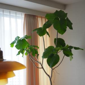 【ウンベラータ】ハダニから復活‼今年もエバーフレッシュに花が咲く♪