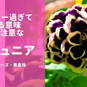 【セクシーなペチュニア】八重咲きの花衣シリーズ・黒真珠