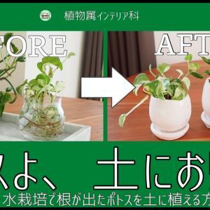 「水栽培で根が伸びたポトス」を土に植え付ける方法【初心者でも超簡単】