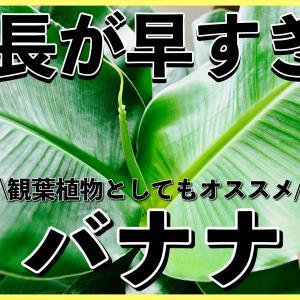 バナナを室内で育てる!観葉植物としても良い?【栽培記録・育て方・注意点】