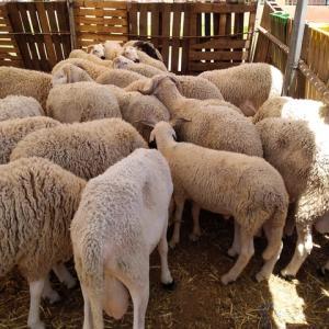 犠牲祭で屠った羊の羊料理。羊は続くよ、どこまでも・・。