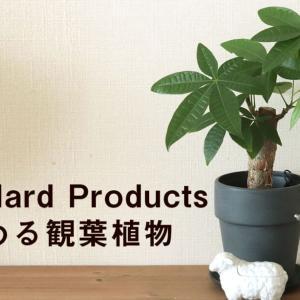最近話題のStandard Productsで購入し観葉植物始めました【パキラ・コーヒーノキ・カポック・ガジュマル】