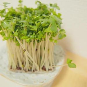 初めての野菜作りは、作りやすい土を使わない野菜、スプラウトからがいいですよ