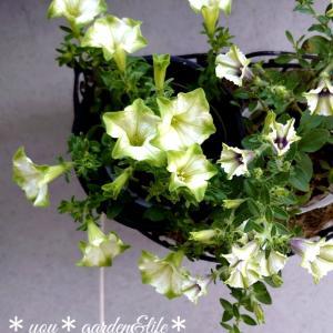 *グリーンのペチュニアの寄せ植えです♡&インコと息子の運動会( ´ ▽`)ノ