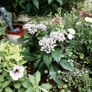 *今よりGOOD( * ´ 艸`*)3年前・4年前の小庭の植栽♡とバラ パープルタイガー