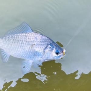 フェザージグで釣ることが出来る魚達