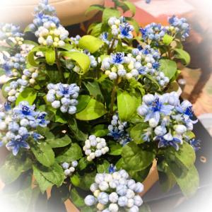 シャリマーの2番花