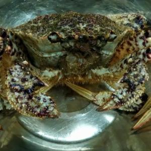 栗蟹とたわむれるJK その後大人が美味しくいただきました