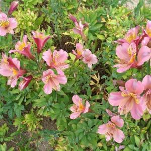 けふの花。20210613