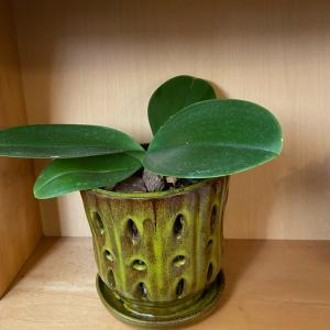 簡単!胡蝶蘭の植え替え 毎年楽しむために