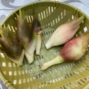 ミョウガの育て方と収穫
