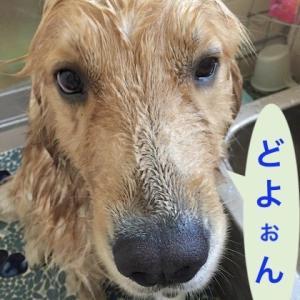 梅雨の合間の青嵐、こんな日は犬を洗うに限る!(ゴールデンレトリバーのシャンプー)