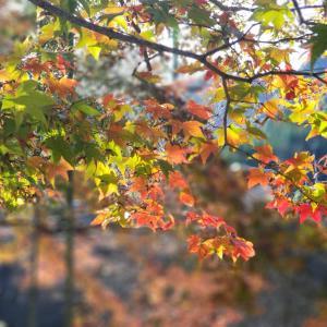 2019/11/26の大川内山の紅葉。