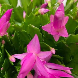 コストコで買ったシャコバサボテン! 花が咲いた