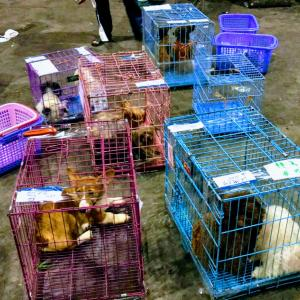 カンボジア・シェムリアップの犬。