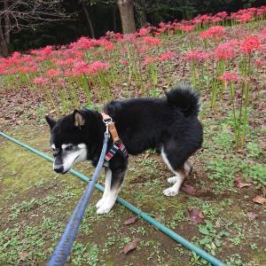 お彼岸なので愛犬を連れてお墓参りへ!彼岸花も咲いていました