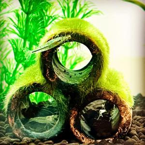 【ヒトリゴト】今日もエビ達は元気です。アクアリウム初心者にもおすすめの水槽⁈