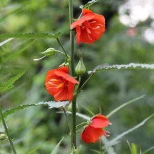 ゴジカの花