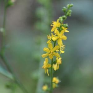 草むらの黄色い小さな花