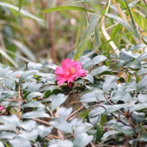 冬咲くツバキの仲間