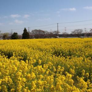 手賀沼の菜の花まつり