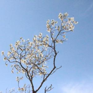 青空と白い桜