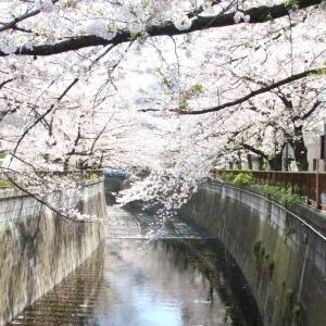 散りゆく目黒川の桜