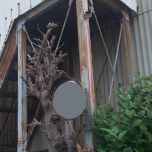 柱に絡む樹木