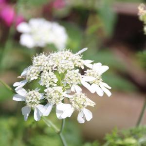 オルレアの花かな