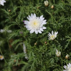 白い八重咲きマーガレット